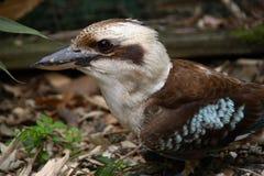 Kookaburra Photo stock