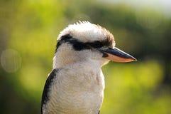 Kookaburra. Australian Kookaburra bird sitting on fence Royalty Free Stock Images