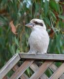 Kookaburra Fotografia de Stock Royalty Free