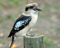 Kookaburra. This Kookaburra is in the bush. He came right into our camp site Stock Image