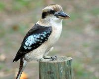 Kookaburra. Stock Image