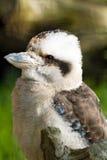 Kookaburra Royalty-vrije Stock Foto