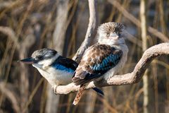 kookaburra Стоковая Фотография