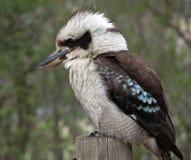 Kookaburra Photo libre de droits