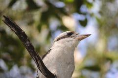 Kookaburra Imágenes de archivo libres de regalías