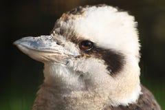 Kookaburra Zdjęcia Royalty Free