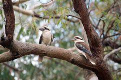 Kookaburra Photographie stock