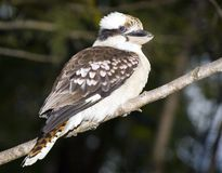 Kookaburra. An Australia Laughing Kookaburra perched on a branch Royalty Free Stock Photos