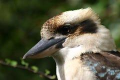 kookaburra Zdjęcie Stock