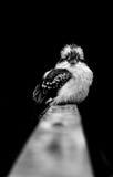 Kookaburra 库存照片