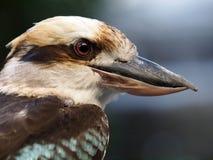 Kookaburra fotos de archivo libres de regalías