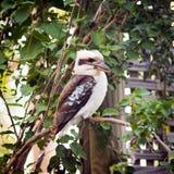 Kookaburra Royalty-vrije Stock Foto's