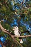 Kookaburra Fotografia Stock Libera da Diritti