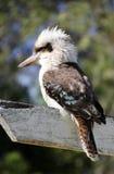 Kookaburra Стоковое Изображение