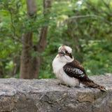 Kookaburra Στοκ εικόνες με δικαίωμα ελεύθερης χρήσης