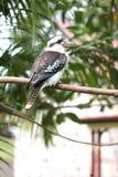 kookaburra Стоковая Фотография RF