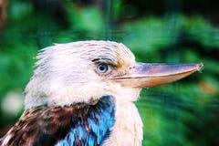 kookaburra Lizenzfreie Stockbilder