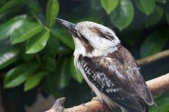 kookaburra Стоковые Фотографии RF