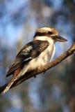 kookaburra Στοκ φωτογραφίες με δικαίωμα ελεύθερης χρήσης