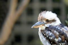 kookaburra imagenes de archivo