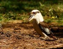 kookaburra Στοκ Εικόνα