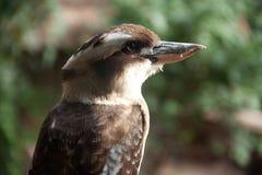 kookaburra image stock
