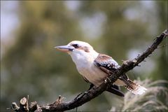 kookaburra Photo stock
