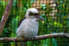 kookaburra Imagem de Stock