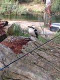 kookaburra Fotografie Stock