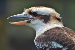 kookaburra Imagen de archivo
