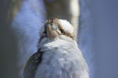 Kookaburra2 Στοκ Εικόνες