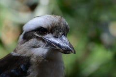 kookaburra Royaltyfri Foto