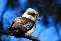 kookaburra Royalty-vrije Stock Afbeeldingen