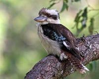 kookaburra Immagini Stock