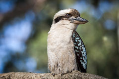 kookaburra Stock Fotografie