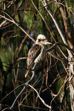 A kookaburra Royalty Free Stock Photography
