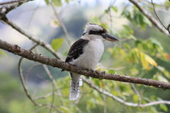 kookaburra Stock Foto