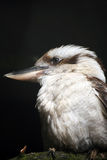 Kookaburra. Portrait of a Kookaburra perching on a branch with a black background Stock Photos