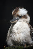 Kookaburra. Portrait of a Kookaburra perching on a branch with a black background Stock Image