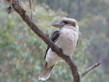 kookaburra Foto de Stock