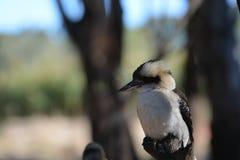 kookaburra Στοκ Φωτογραφία