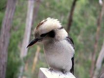 kookaburra Стоковое Фото
