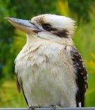 kookaburra Stockbilder
