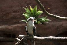 kookaburra笑 免版税图库摄影