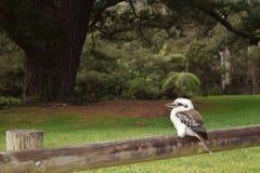 Kookaburra鸟 免版税库存照片