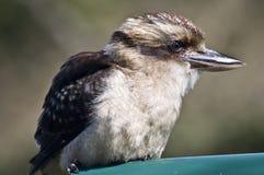 Kookaburra Fotografia Stock