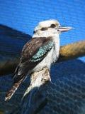Kookaburra image libre de droits