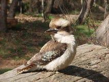 Kookaburra Royalty-vrije Stock Afbeelding