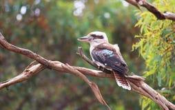 kookaburra Royaltyfri Fotografi