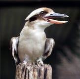 Kookaburra Imagens de Stock